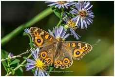 Argus Meadow Butterfly on our Aster Daisies. Beautiful, isn't it? Love seeing the life that's in our garden, from the very small to the quite large