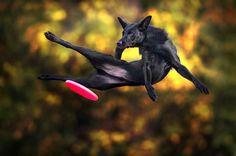 Les chiens et lefrisbee, une grande histoire de saut.
