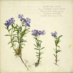 l'herbier d'emilie vast, petite flore des bois d'europe, l'oxalis