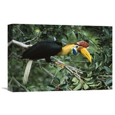 Global Gallery Sulawesi Red-Knobbed Hornbill Male in Fruiting Fig Tree Sulawesi Indonesia Wall Art - GCS-451134-1624-142