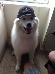 My Samoyed supporting his favorite cause!