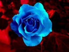 Gifs , Mensagens e Imagens :: Rosas Azuis