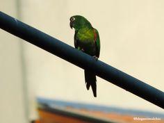 Periquitão-maracanã (Psittacara leucophthalmus) fotografado em Poços de Caldas/MG em Agosto/14.
