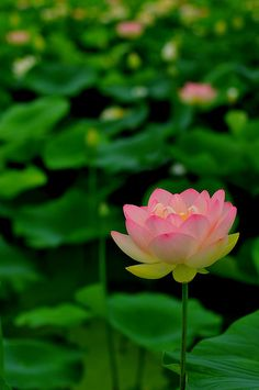 lotus | Photo by chikache _ on flickr | Permission: CC BY-NC-SA 2.0 http://creativecommons.org/licenses/by-nc-sa/2.0/deed.de