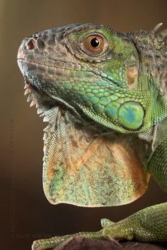 Green iguana by igor Siwanowicz