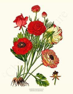 Ranunculus, Garden id=6146