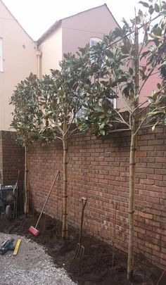 Pleached Trees balance the height of the opposing wall and provide privacy from overlooking properties. trees small garden The Georgian Cottage Courtyard - The Cheshire Garden Small Courtyard Gardens, Small Courtyards, Small Gardens, Outdoor Gardens, Garden Wall Designs, Back Garden Design, Garden Landscape Design, Brick Wall Gardens, Brick Garden