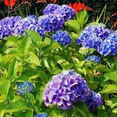 Hortensia Hydrangea, Hydrangea Macrophylla, Climbing Hydrangea, Hydrangea Colors, Hydrangea Care, When To Prune Hydrangeas, Types Of Hydrangeas, Types Of Flowers, Small Flowers