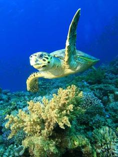 sea turtles - Google Search