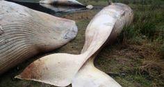 Baleine echouee patagonie chilienne