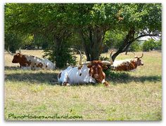 3000 pound Longhorn cattle live close to Million Dollar Homes & Shops at Legacy -  Dog days of Summer