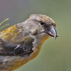 What kind of feeding is #crossbill's #beak adapted to? Coniferous-seed eating! Crossbills are characterized by the mandibles crossing at their tips, which gives the group its English name. These mandibles enable them to extract seeds from conifer cones.