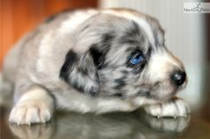 Meet Maiden a cute Australian Shepherd puppy for sale for $1,300. STUNNING blue merle female, 2 blue eyes