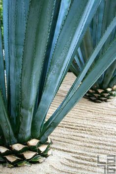 Agave in Cabo San Lucas, Baja California Sur, Mexico. Agave nectar has been used as an alternative to sugar in cooking. Agaves, Best Tequila Brands, Agave Azul, Agave Plant, Cabo San Lucas, Baja California, Editorial Photography, Backyard Landscaping, Houseplants