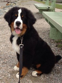 Bernese Mountain Dog! His name is Theodore!