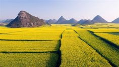 Fields of rapeseed (canola) flowers in bloom in Luoping, Yunnan Province, China, Asia