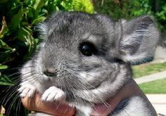 Chinchilla! I miss mine, but couldn't have them anymore because I developed an allergy to them :'[[