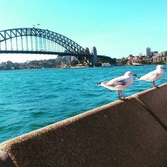 Trying to recreate the seagull scene in Finding Nemo #Sydney #sydneyharbourbridge #2013 #seagulls by liam_way http://ift.tt/1NRMbNv