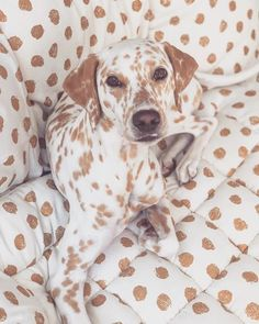 Thinking about getting a Dalmatian puppy? Here are some things you should know about Dalmatian puppies before you run out to your local shelter or rescue to get your own, from their energy levels to their unique spotted coats. Cute Baby Animals, Animals And Pets, Funny Animals, Dog Rates, Dalmatian Dogs, Cute Dogs And Puppies, Doggies, Animals Beautiful, Animal Pictures