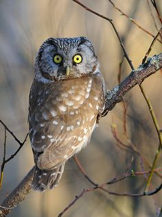 Boreal Owl (Aegolius funereus) by mattisj~~ look at those majestic eyes! Beautiful Owl, Animals Beautiful, Cute Animals, Owl Bird, Pet Birds, Owl Pictures, Owl Photos, Tier Fotos, Mundo Animal