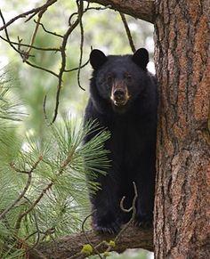 Black bear ~