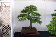Newbury & District bonsai show 2013 | Flickr: Intercambio de fotos
