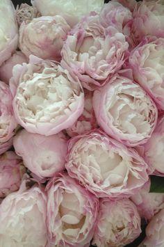 Jo Malone London | Peony  Blush Suede #PeonyBlushSuede #Peony #Pink