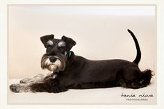 -I think I love the tail:ceeanne :)...Studio Portrait of Mini Schnauzer Extraordinaire by Tania Niwa.