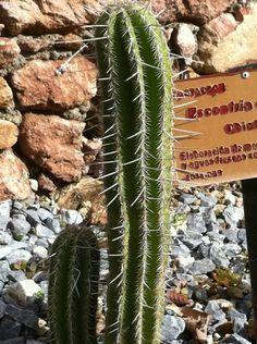Jiotilla (Escontria chiotilla) es unaespeciedecactus natural deMéxico.  Endémica de los estados de Guerrero,Michoacán,Oaxacay Puebla. Crece en el bosque tropical caducifolio y matorral xerófilo y cuando se encuentra dominando el paisaje, las asociaciones vegetales que forma se llaman quiotillales.
