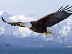 Save the Eagles Day is observed annually on the of January. Some species of eagles are on the endangered list. However due to the work of scientists and the public the Bald Eagle was removed from this list in June Eagle Images, Eagle Pictures, The Eagles, Bald Eagles, Eagle Artwork, Birds Of Prey, Little Birds, Parakeet, Fauna