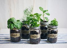 Mini herb garden in mason jars.