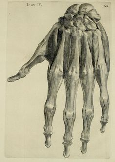 Icon IV. The hand's muscles and tendons. Bernardi Siegfried Albini, anatomes & chirurgiae in academia Batava quae Leidae est professoris, Historia musculorum hominis. 1734.