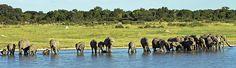 A herd of elephants drinking at the watering hole at the Nyamandhlovu Platform, Hwange National Park, Zimbabwe, Africa.