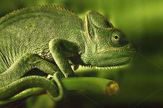 Chameleon Calyptratus by Colour Studio on Creative Market