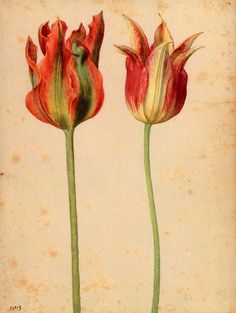 zijperspace:    Tulips are here again (A few days more…):'Two Tulips II' - Georg Flegel.