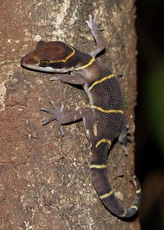 Boulenger's Indian Gecko (Geckoella ablofasciatus) photographed by cowyeow Near Pune, India on 10th August 2014