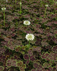 These Plants Like to Be Walked On Sprawling and Spilling Plants for Paved Areas: Trifolium repens Atropurpureum (Bronze Dutch Clover) Pom Pom Flowers, Bulb Flowers, Clover Flower, Four Leaf Clover, Clover Lawn, Shade Garden, Garden Plants, Shamrock Plant, Ground Cover Plants