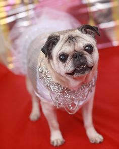 Gretta the pug red carpet tip of the day oscars 2013 by Pugs and Kisses blog