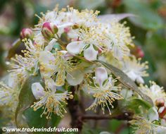 Brazilian Cherry Tree