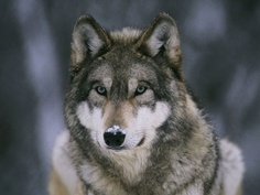In the Valley of the Wolves - Introduction - Yellowstone Gray Wolves | Nature | PBS