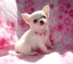 Chihuahua Puppies for Sale: Price in India Chihuahua Puppies For Sale, Cute Chihuahua, Free Puppies For Adoption, Puppy Care, Pet Puppy, Cute Little Puppies, Cute Dogs, Collie, Humorous Animals