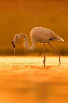 Orange Sunset Flamingo by Manan Patel