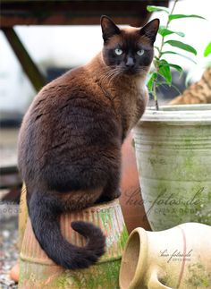 Burmese cat This breed.  On 9 Sept 2013, yesterday I had to put down my cat named Moose.  He was about 15 or 16 years old.  We will miss you Moose.