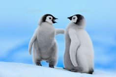 Emperor Penguin (Aptenodytes forsteri) pair,Snow Hill Islan[01543025870]の写真素材・ストックフォト。アマナイメージズでは2500万点以上の高品質な写真素材を販売。オリジナルロイヤリティフリー素材も充実。