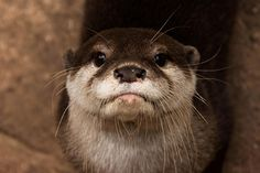 Otter will look you right in the eye - November 5, 2015