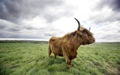 Latest environmental news, features and updates. Pictures, video and more. Highland Cattle, Rare Species, Animal Kingdom, Climate Change, Environment, Creatures, Earth, Cows, Amazing
