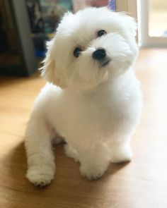 14 Reasons To Adore Maltese Dogs Cute Dogs And Puppies, Baby Dogs, Puppy Haircut, Maltese Haircut, Dog Haircuts, Teacup Puppies, Teacup Maltese, Maltese Dogs, Maltese Poodle