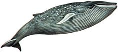 The Blue Whales (Balaenoptera musculus) painted by Richard Ellis.