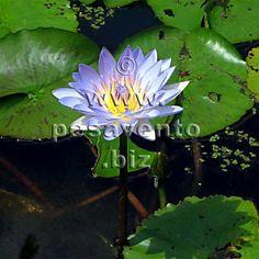 Native Waterlily