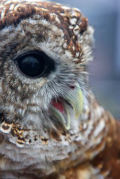 beautiful Barred Owl <3
